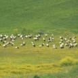 AGROPOLI – Avvistato uno stormo di cicogne nei cieli di Agropoli, nel Cilento. Lo stormo era composto da circa duecento esemplari, un fatto definito dai forestali del Coordinamento Territoriale Ambientale (CTA) del Parco Nazionale del Cilento «del tutto eccezionale». Le […]