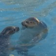 Si allarga sempre più la famiglia dello Zoo di Napoli con l'arrivo di due Foche Vituline, specie costiera di colore grigio-giallino con macchie marroncine Grande l'attesa allo Zoo di Napoli per l'arrivo di due foche della specie […]