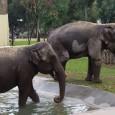 Mamma e figlia sono arrivate giovedi da Copenaghen e già si sono ambientate Era grande l'attesa allo Zoo di Napoli per l'arrivo degli elefanti, infatti già da quest'estate il restauro della loro casa era stato ultimato e si aspettava solo […]
