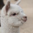 Si chiama Teo il cucciolo di Alpaca nato allo Zoo di Napoli Un sondaggio sui social ha aiutato gli operatori del parco a sceglierne il nome Si chiama Teo ed è un bellissimo esemplare di alpaca, appena nato allo Zoo […]