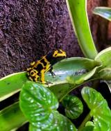Dendrobates leucomelas ÔÇô Rana freccia dalle bande gialle