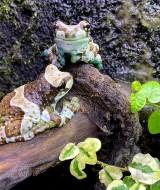 Trachycephalus resinifictrix ÔÇô Milk frog